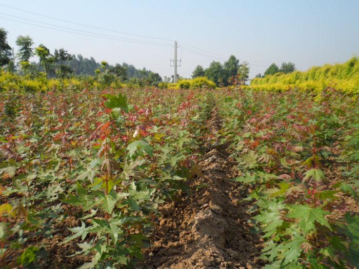 美女樱种子大量种植  花卉种子批发