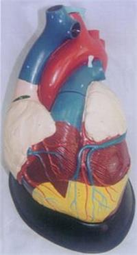 解剖模型.眼解剖模型.心脏解剖模型.脑解剖模型.头颅骨模型.口腔解剖