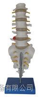 自然大腰椎带尾椎骨模型 KAH/A119