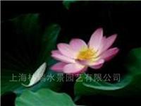 荷花.莲花