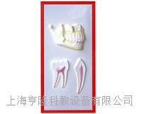 牙列与牙解剖浮雕模型 KAH2079-12