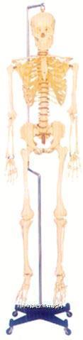 168CM人体骨骼模型 GD-0101F