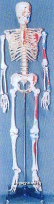168CM高男性透明胸骨人体骨骼模型 GD-0101G5
