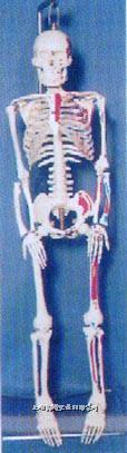 **高级全可分软脊椎左边肌肉着色编码人体骨骼模型 GD-01141
