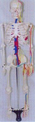 人体骨骼附主要神经与主动脉静脉模型 GD-0113F