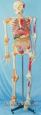 168CM肌肉着色、关节韧带、内脏等人体骨骼模型 GD-0102C051
