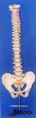 人体解剖模型|大型硬脊椎带盆骨整体模型 GD-0147