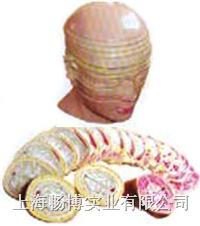 人体断层解剖模型|人体头颈部横断断层解剖模型