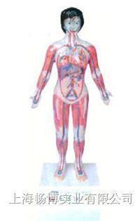 医学模型|微电脑人体心动周期与大.小循环演示模型 SME10