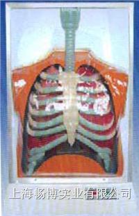电动医学模型|活动式人体呼吸运动电动模型 SME081