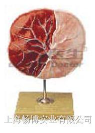 组织胚胎学模型|胎盘脐带模型 GD/A42010/1
