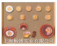 人体胚胎模型|受精与初期胚胎发育过程模型 GD/A42003