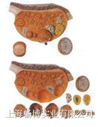 人体组织胚胎模型|卵巢放大模型 GD/A41003