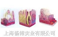 人体组织胚胎学模型|胃肠光镜模型 SMO001