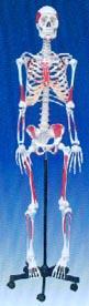 医学教学模型|人体骨骼附肌肉起止点着色模型 SMD0021