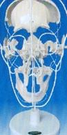 人体教学培训模型|颅骨骨性分离模型 SMD009