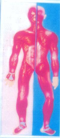 人体医学模型|人体全身肌肉系列浮雕 GD-0330S