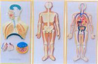 人体解剖教学模型|人体呼吸循环系列浮雕 GD-0330O