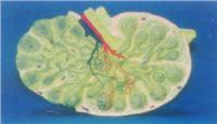 解剖模型|淋巴解剖放大模型 GD-0327W
