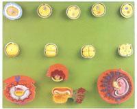 解剖教学模型|受精与初期胚胎发育过程模型 GD/A42003