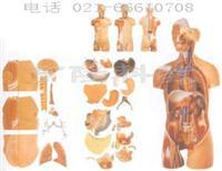 高级解剖模型|男、女性两性互换肌肉内脏背部开放式头颈躯干模型 GD/A10003