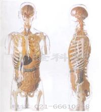 人体医学模型|透明半身躯干附内脏模型 GD/A10004