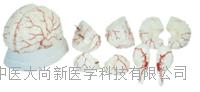 脑动脉模型 SX-447