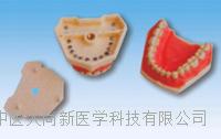仿真标准牙模型 SX-625
