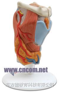 德国3B人体解剖模型 咽喉模型 M324327