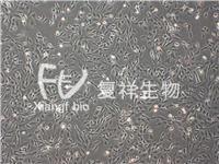 UMNSAH/DF-1 雞胚胎成纖維細胞 UMNSAH/DF-1