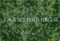 293FT细胞,人胚肾细胞