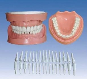 可卸式有根標準牙模型